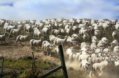 가축 무리